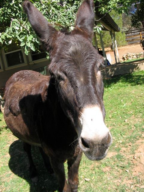 Norma Jean the Donkey