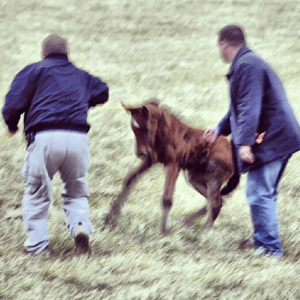 Foal resists so goons pull and shove.  Nice technique.
