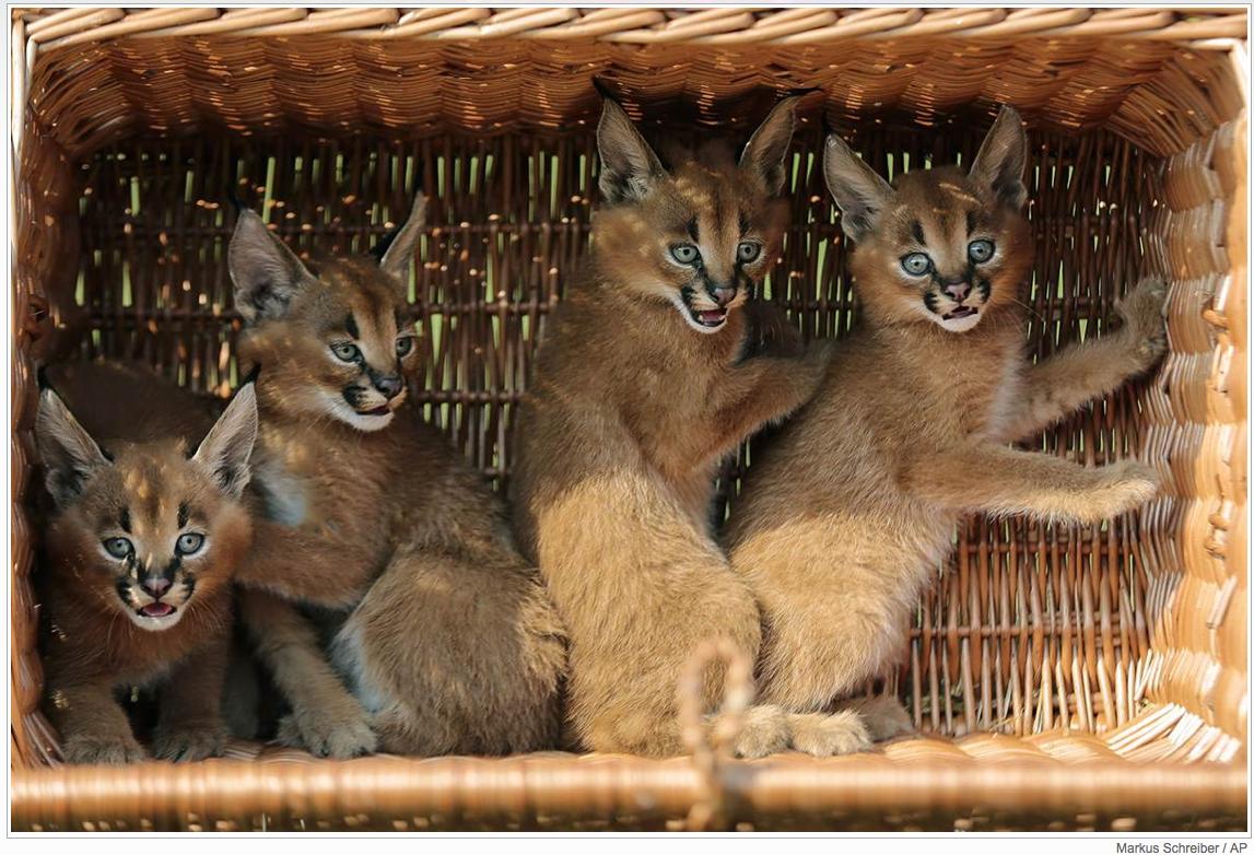 Four desert lynx cubs