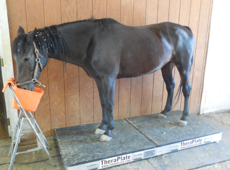 This is Gwen's first time on the Theraplate.  She was fine with it.  Gwen has a torn suspensory and both superficial and deep digital flexor tendons.  Yikes.