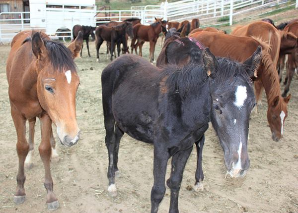 The 17 who survived pictured here at the feedlot. They huddled in clusters. Poor babies...  Many of them were not on solid food and didn't know how to drink water from a bucket.  The feedlot was not interested in their health
