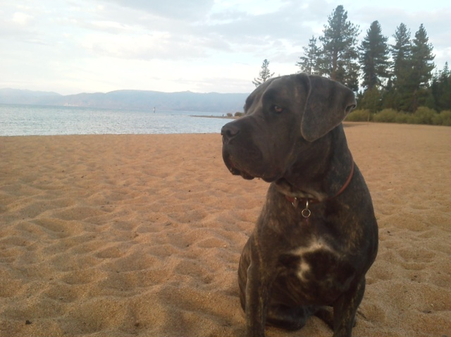 Mayla's Dad sent this to me... it is Mayla on the shores of Lake Tahoe, where they play daily.
