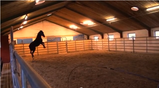 Click on the image to see the video of Klaus' first encounter with this unruly stallion.