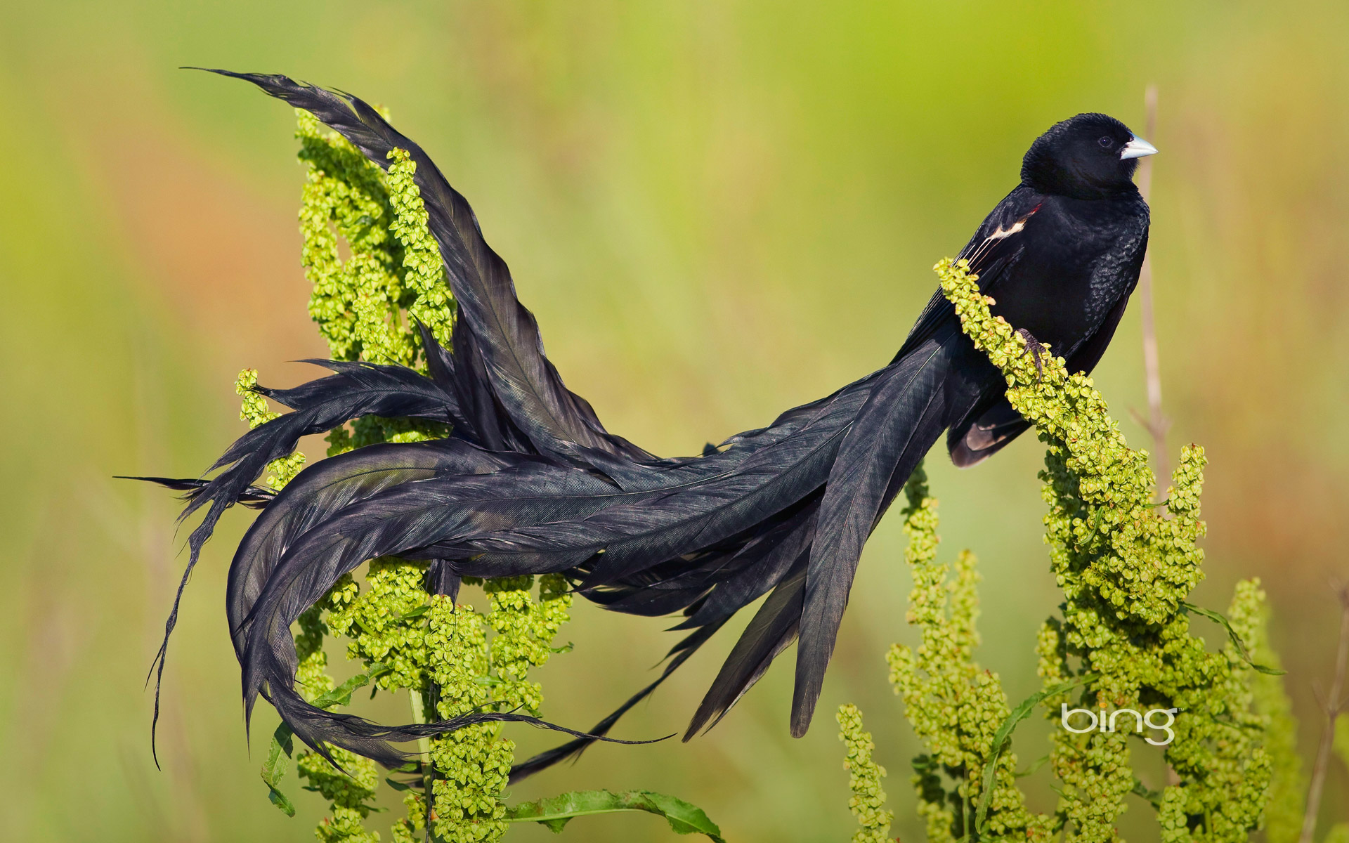 Long-tailed widowbird male in breeding plumage, Marievale Bird Sanctuary, South Africa