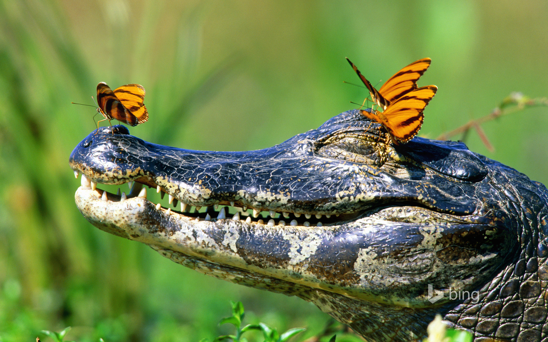 Butterflies resting on a caiman in the Pantanal, Brazil