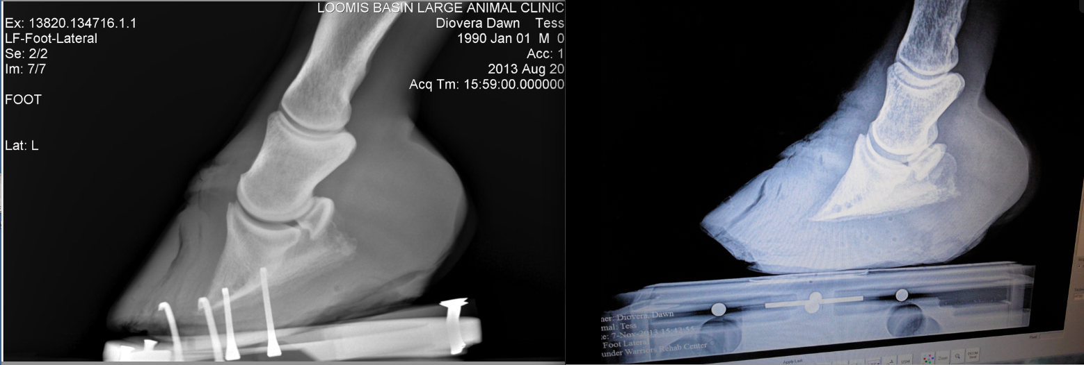 The left is her doomsday Xray... Right is 11 weeks later.  LOOK AT THE SOLE GROWTH thanks to the Theraplate!