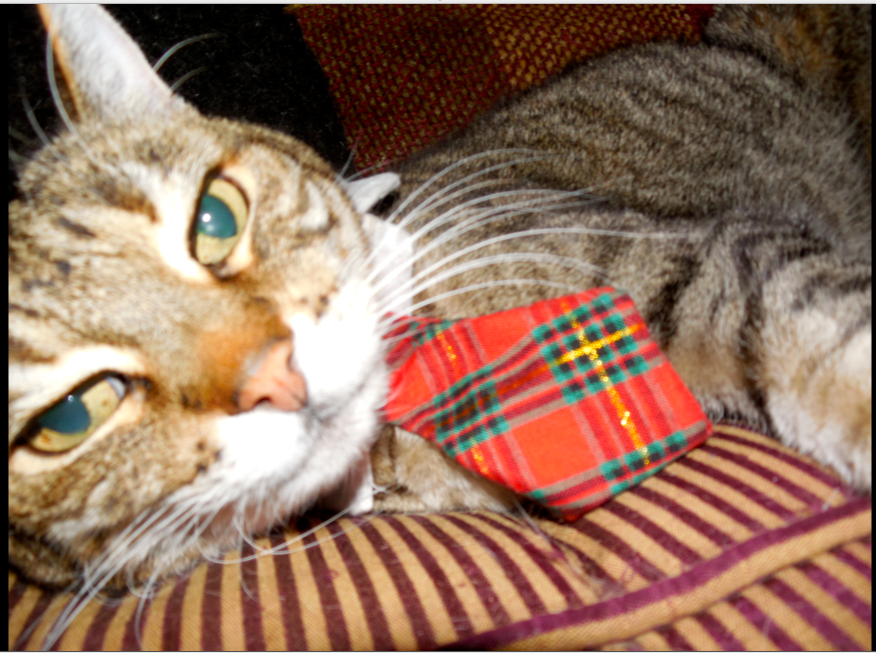 And I groomed an old cat... Yes, I bought a tie for Sirdar, Hubby's cat!