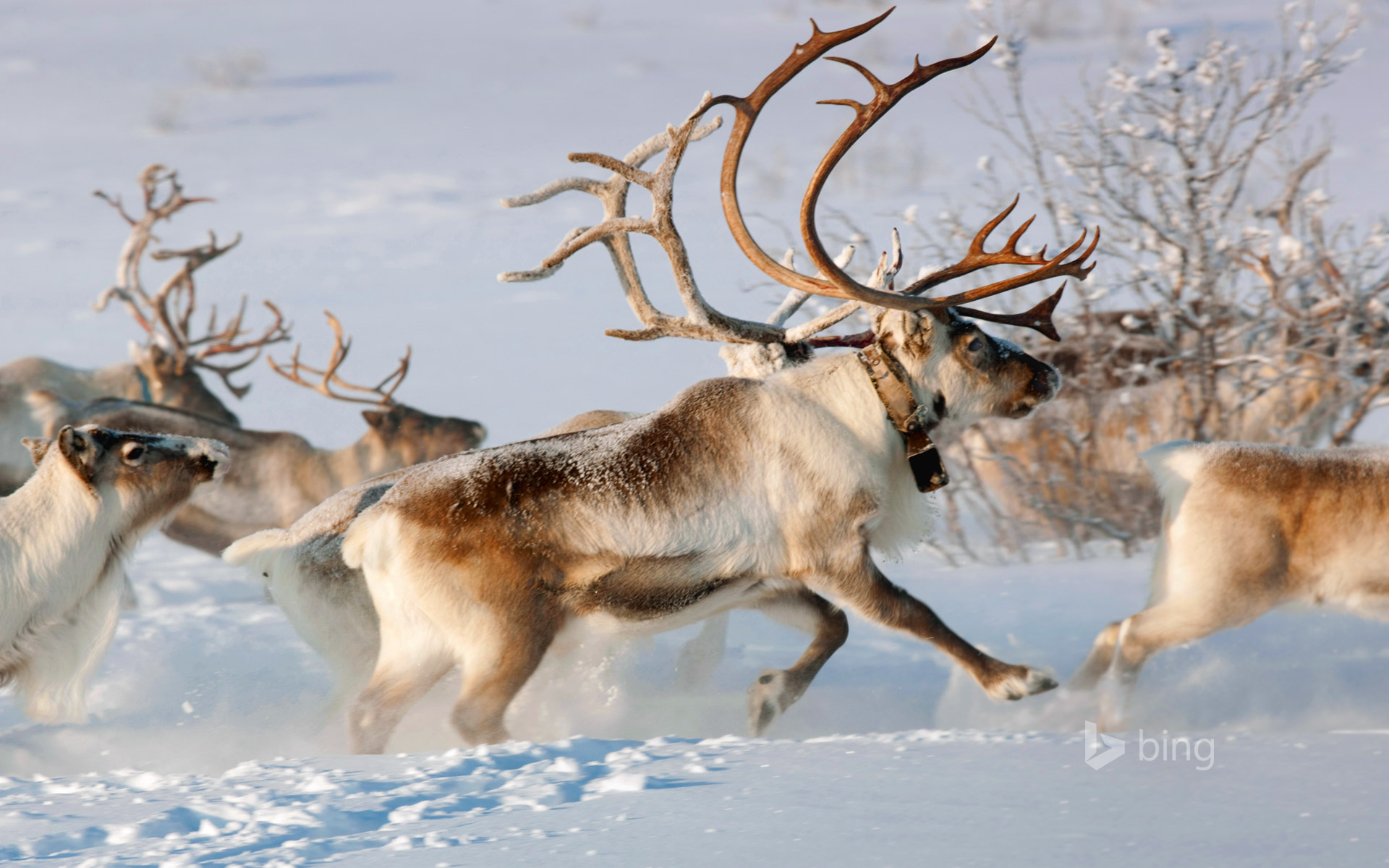 Reindeer in the countryside near Karasjok, Finnmark, Norway