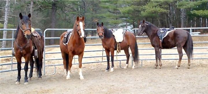 """In mid-September, 41 neglected horses were seized from one property by the Essex County, NY Sheriff's Department, as the impounding agent. An amazing group of people have been rallying behind them since. Our local Equine Rescue """"Crane Mountain Valley Horse Rescue, Inc."""" is serving as the adopting agent and have found homes for almost all of them, but it's not over yet! Seven horses (4 geldings and 3 mares) are still waiting for their adoptive families. For an application, please e-mail Nancy at horses@cmvhr.org or call 518-962-8512. Adoption fees for these horses have been waived, but funds are now needed to continue their training. Can you help? Every little bit counts and will help guarantee a more successful future for these wonderful animals!"""