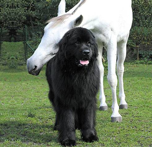 For 15 years on Max the Newfie and 30 years on Mingo, Nancy took great care of her animals.