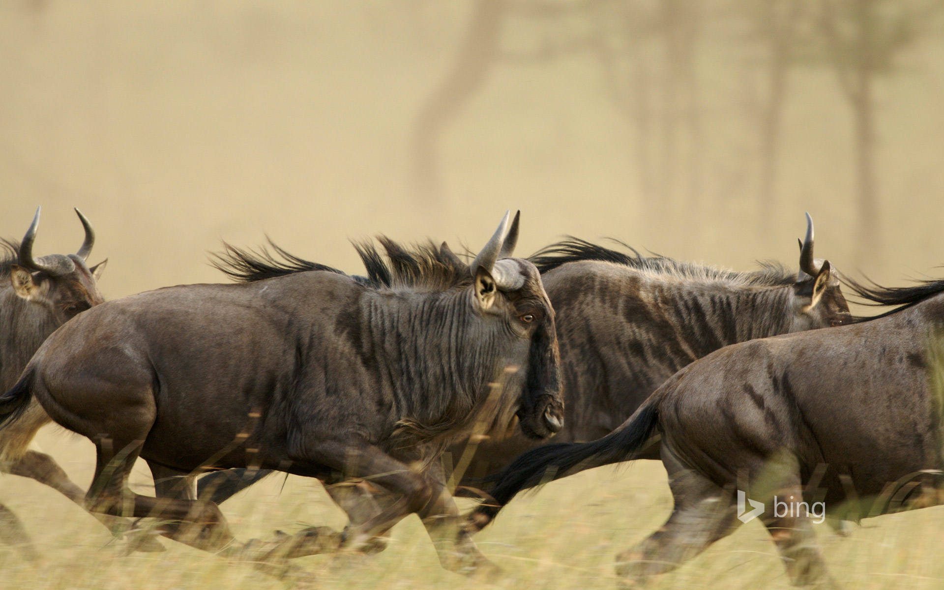 Blue wildebeests on the Musabi Plains in the Serengeti National Park, Tanzania