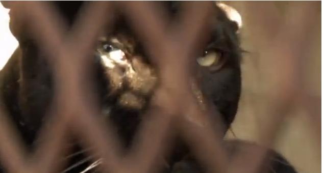 Click image to watch Anna Breytenbach speak to this black leopard.