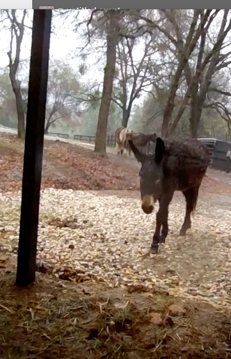 Click image to watch a short video of my mini roundup ... Norma and the Shetlands into the barn and out of the rain!
