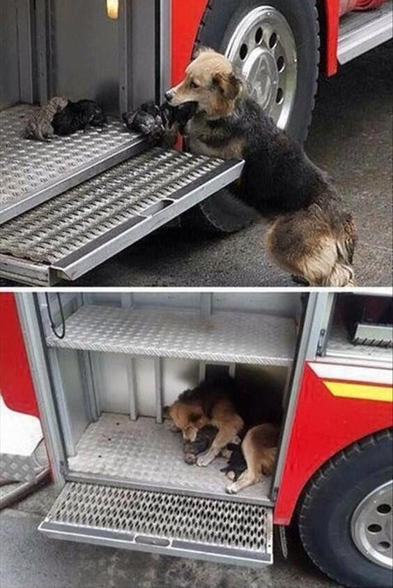 You have probably seen this story of the dog who saved her pups - one by one - during the fire... and put them on the truck.