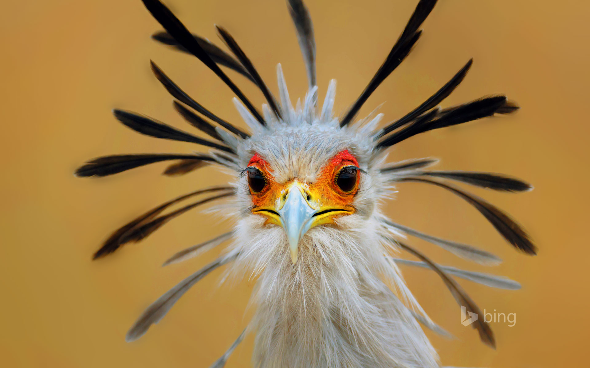 Secretary bird, Kruger National Park, South Africa