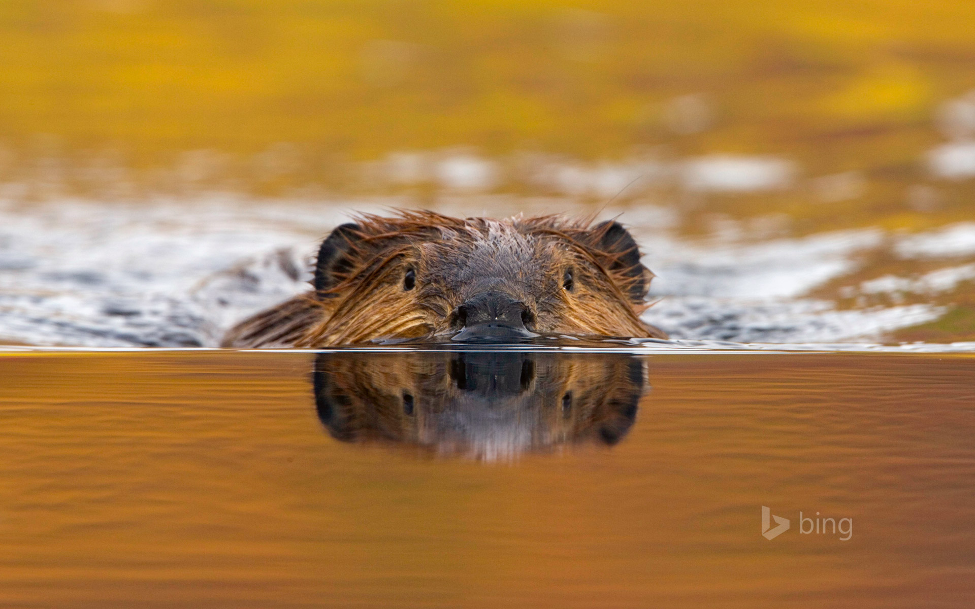 North American beaver in Denali National Park, Alaska