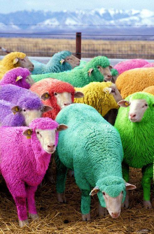 Freshly dyed sheep run in view of the highway near Bathgate, Scotland. The sheep farmer has been dying his sheep with nontoxic dye since 2007 to entertain passing motorists