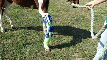 Bucket Fund Aria has her brace!!  I will have pics and story tomorrow!