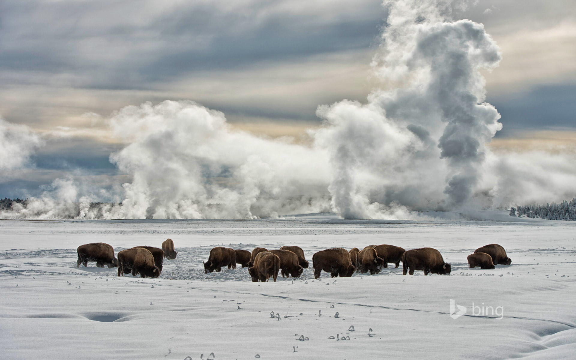American bison wintering at Fountain Flats, Yellowstone National Park, Wyoming