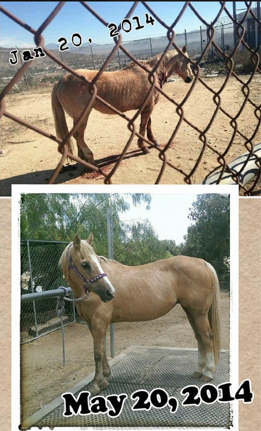 It is hard to believe this is the same horse! Good Job!  Her wounds were washed 2-3 times daily and Vetericyn was applied.
