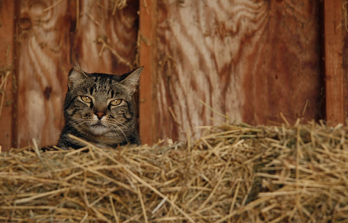 This is a barn cat, but not my barn cat... I didn't get my camera out for this story.