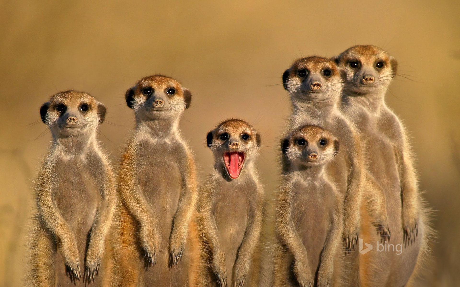 Meerkats in Botswana
