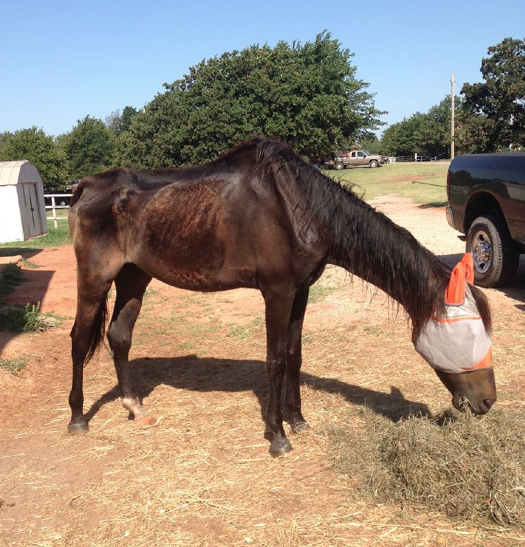 """We are almost there!  Our July Bucket Fund horse, MG, is clean and up and eating!  Doesn't he look so much better already?  He is a nicker bandit and will """"heh heh heh"""" for food!  Click here to read his story or donate!"""