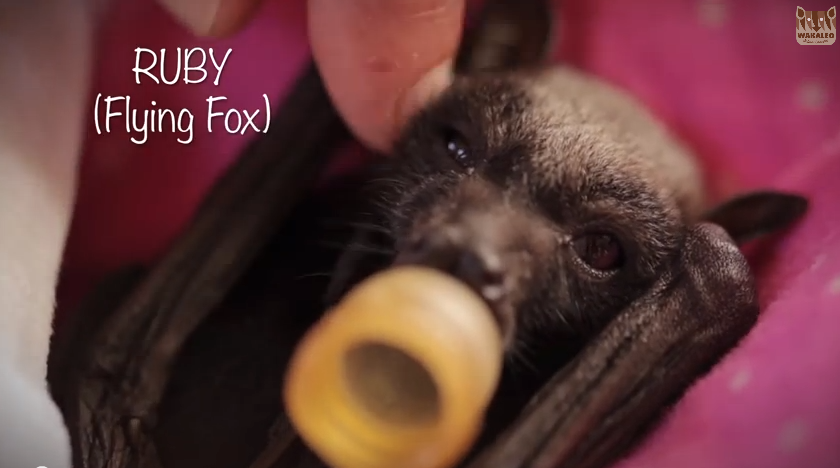 Click image to watch the video about Ruby the baby flying fox - adorable.
