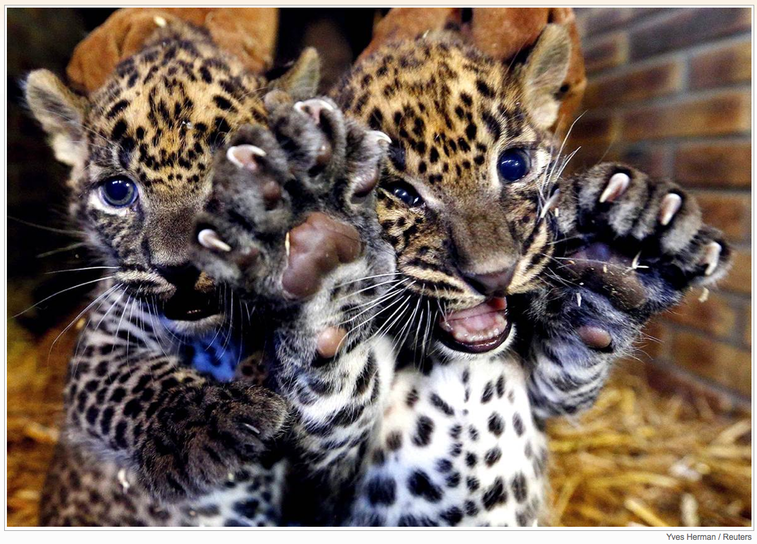 Two unnamed female Sri Lankan baby leopards