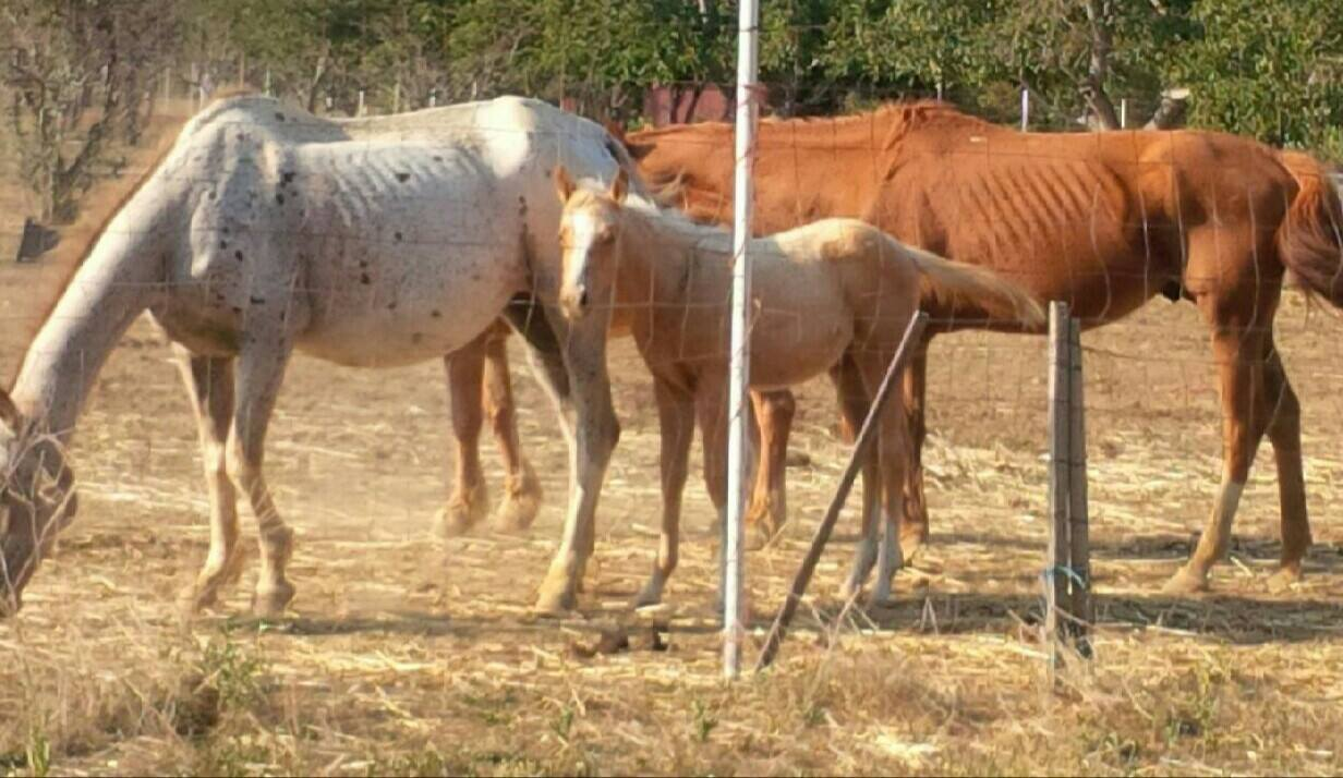 This is a pregnant mare, who is nursing a baby - and they think she might be blind as well...  She is extremely thin.