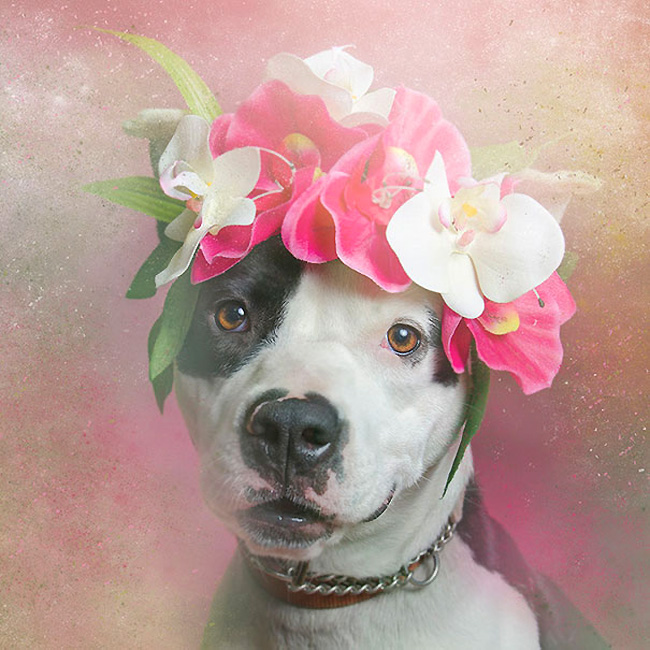 flower-power-pit-bulls-of-the-revolution-photography-sophie-gamand-7