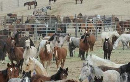 A BLM holding facility... so sad.  If this is their fate, I'd rather they have an opportunity to be trained and adopted.