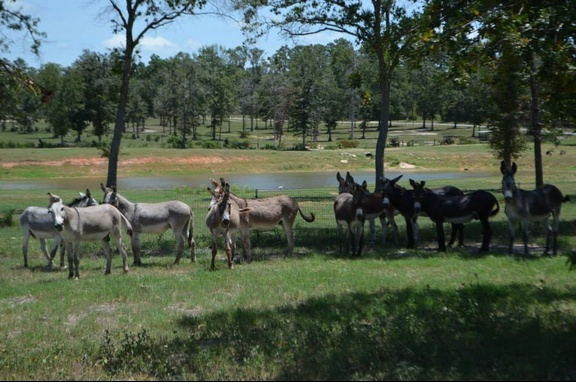 This is the Original herd of BLM Burros who were rescued in 2012 from an uncertain fate.  They live happily in the Sanctity of TMR Rescue.