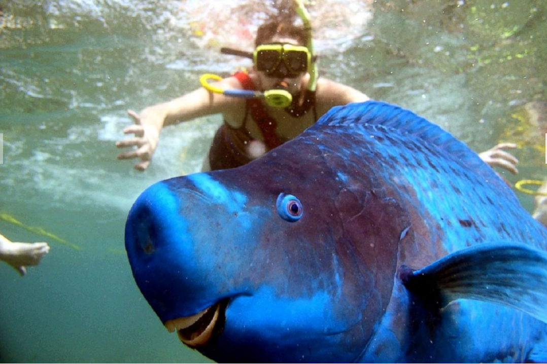 A parrotfish swimming near Eastern Dry Rocks at Key West in Florida SOPHIA ROTH