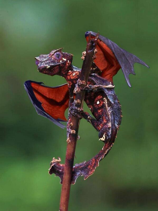 Satanic Leaf Tailed Gecko' from Madagascar.