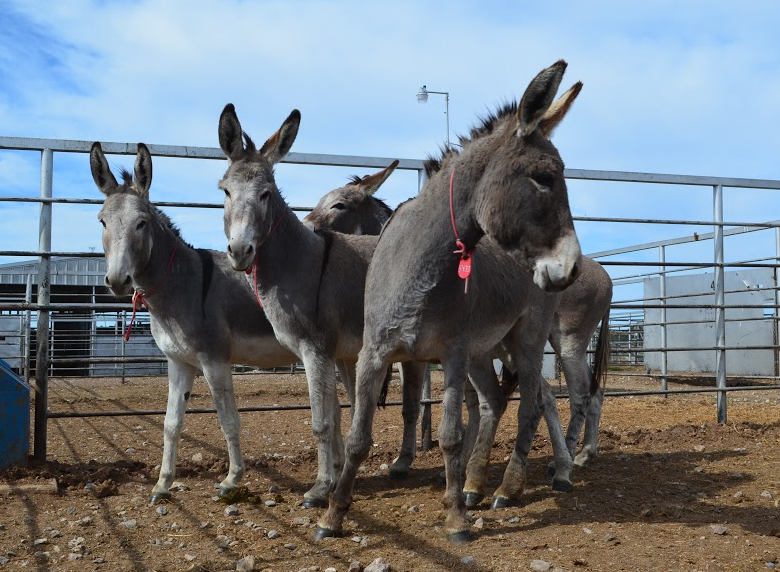 OUR NOVEMBER BUCKET FUND Newly Rescued BLM 3 Strikes Wild Burros!  Saved from a trip to Guatemala!  Please click image to read their story and help support them!