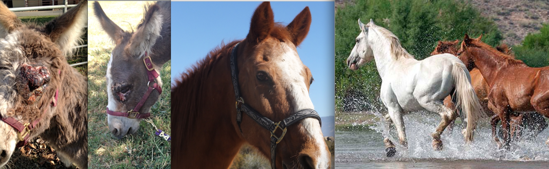 ALL THE LINKS WORK!  ALL FIXED (sorry!)  Our December Bucket Fund Horses!  Cinny the Ancient and Charming Gelding, Lila - the mini donk who survived sarcoid and the H&M Re-Wilding Program.  Click here to read all about these horses!   Gift donation Certificates available!