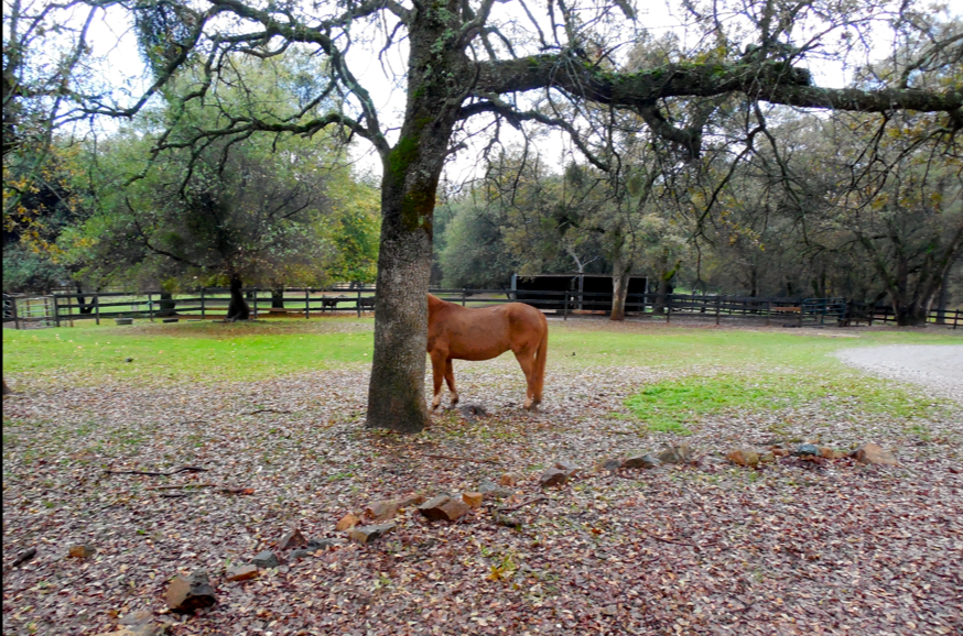 Sam, the still very wild mare.  She is the Voice of Reason.  She stabilizes the herd by remaining calm at all times.  She is solid as a rock.  Sam probably would have made an excellent trail horse, if she was interested in being gentled - which she isn't.