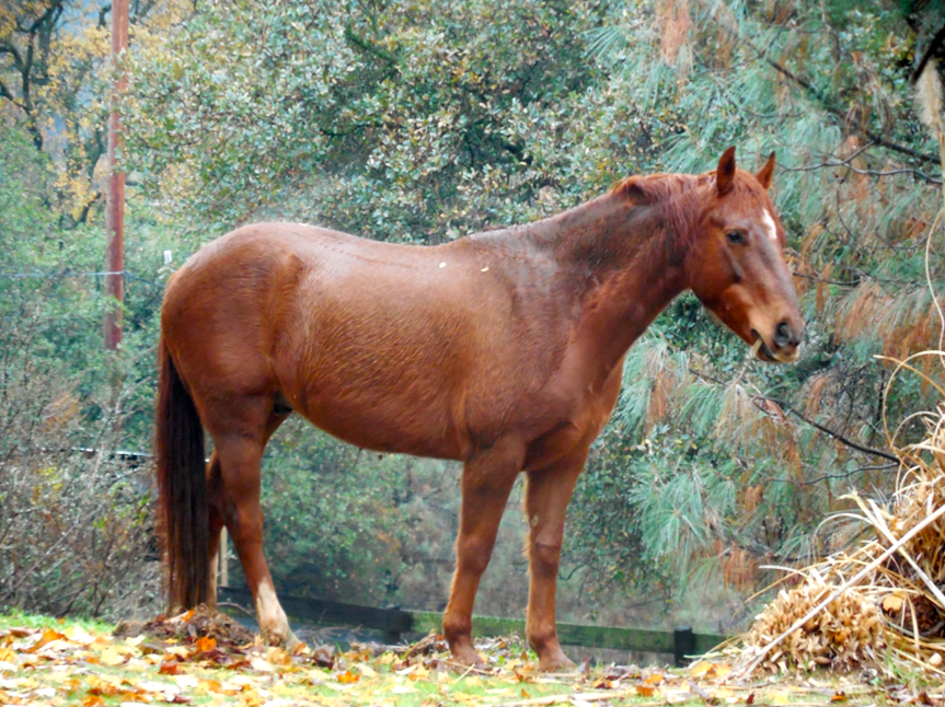 Handsome, mostly wild Rojo.  Doesn't he look like a postcard here?  He is the Leader and everyone is within his sight while grazing.
