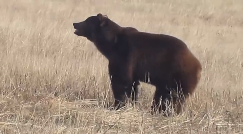 Here is one bear - feeling freedom for the first time!