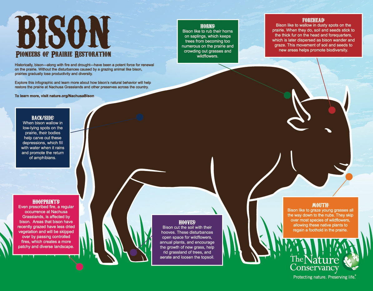 Bison forage much more closely to horses than cattle.