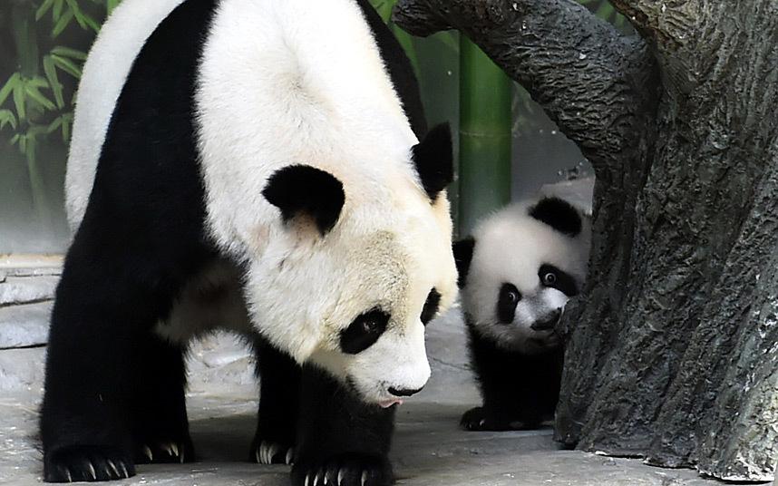panda-triplets-reu_3134848k
