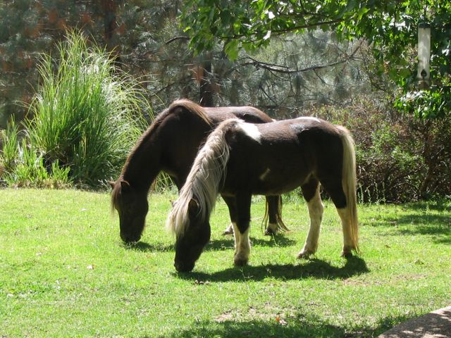 These are my two Shetlands, Dodger and Slick. Dodger, in the back, is in his late 20s. This winter, I noticed his topline for the first time. So... I had his teeth done and a geriatric panel. He's fine, I just have to adjust his food for his age. More food for him and more soft foods.. more beet pulp and senior low carb feeds. I also gave him a round of psyllium powder, just to be safe.