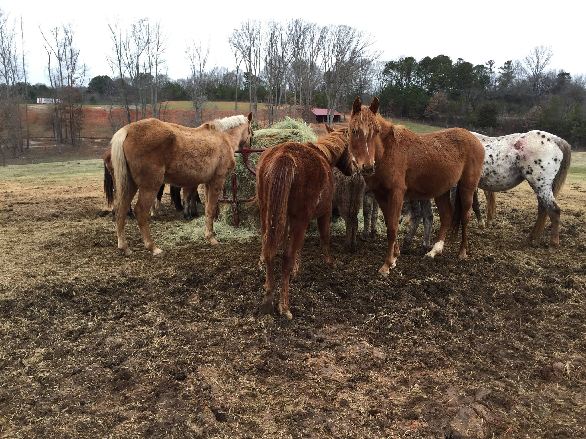 Here are some of the 20+ horses in our January Bucket Fund that were already rescued by Big Oaks... They are shaggy, skinny and wormy... but they are safe and eating.  Soon, they will be healthy.