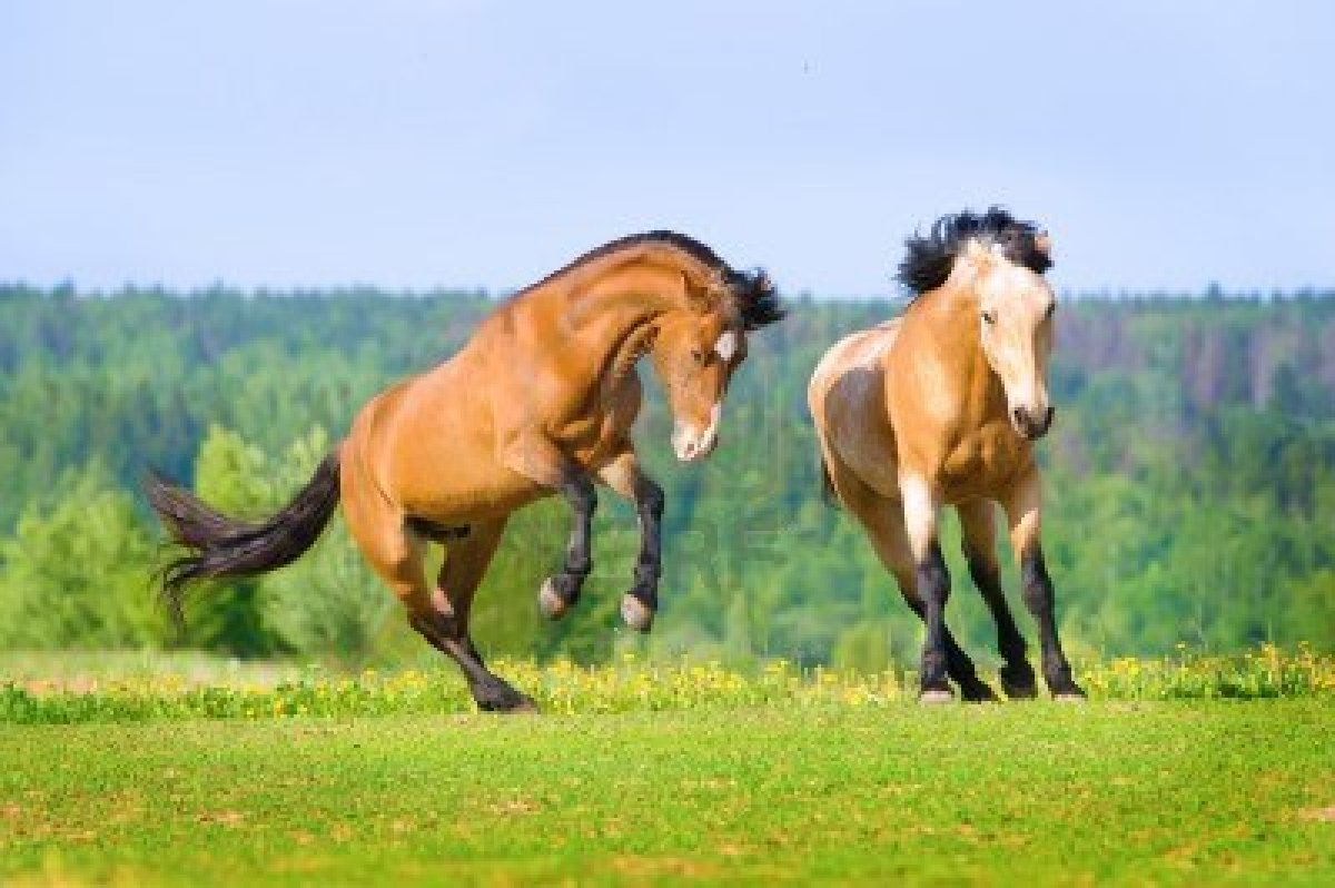 13742334-two-bay-horses-playing-on-the-meadow-in-summer