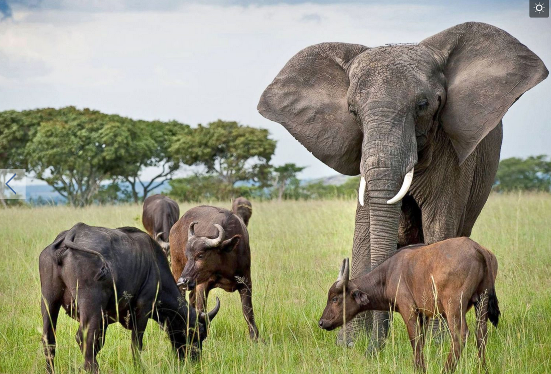Nzhou, an elephant whose parents were poached by ivory hunters, has been adopted by a herd of buffalo. Nzhou looks a bit out of place with the herd, as she towers over them, but they accept her as one of their own.