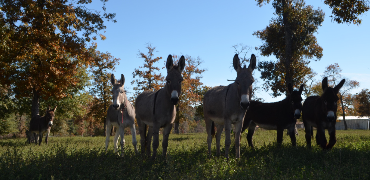 These former BLM burros are now free and roaming with a prior BLM herd at TMR ranch.