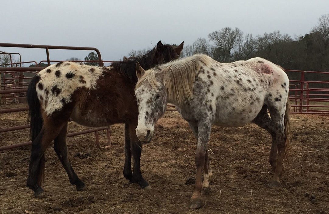 Two of the 25 January Bucket Fund horses in South Carolina!  Click to read more!