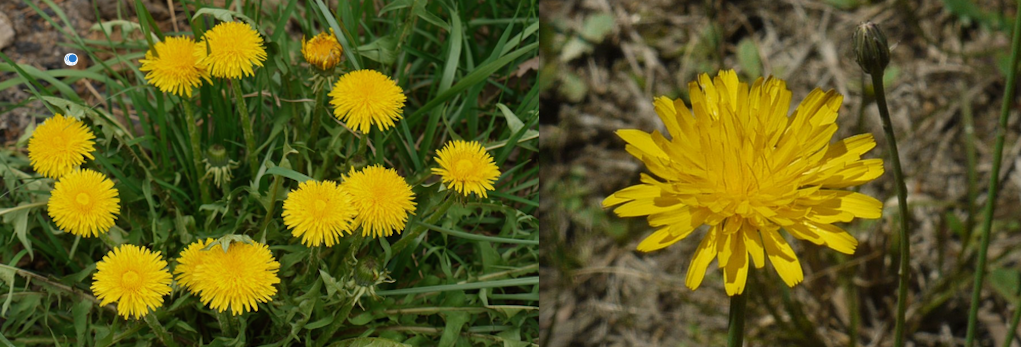 Dandelion (safe) on left.  Cat's Ear (poison) on right.