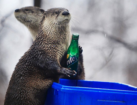 Two female North American River Otters are shown at the Seneca Park Zoo in Rochester, N.Y., Feb. 27, 2013. The Otters have been trained by zookeeper Catina Wright to take soda bottles and place them into recycling bins.